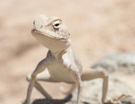harsh: Closeup detail of an Egyptian desert agama lizard on in harsh arid environment