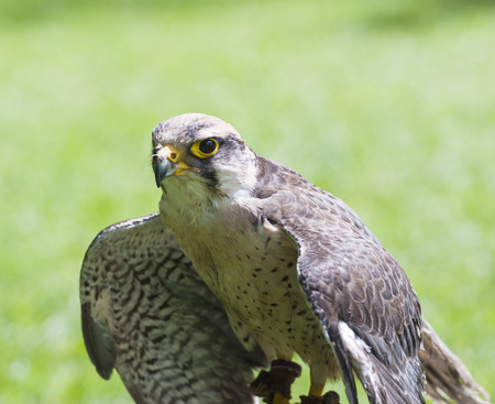 lanner: Closeup of lanner falcon falco biarmicus in captivity with wings open