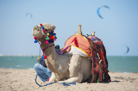 saddle camel: Dromedary camel on egyptian beach in summer with kite surfers in background