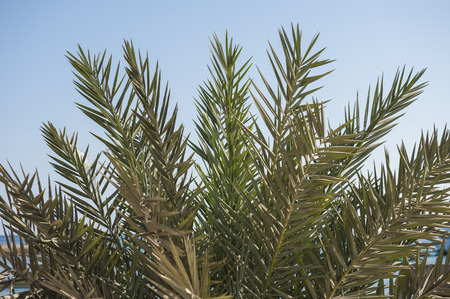 date palm tree: Closeup of top of date palm tree with leaves Stock Photo