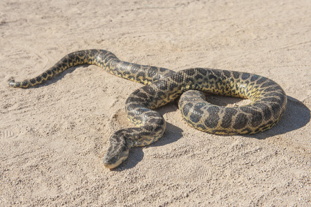 Closeup of desert rock python snake crawling on sandy arid ground