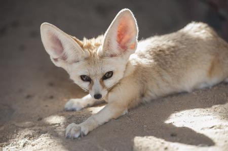 animales del desierto: Primer plano de zorro Fennec desierto Vulpes zerda en cautiverio que se acuesta