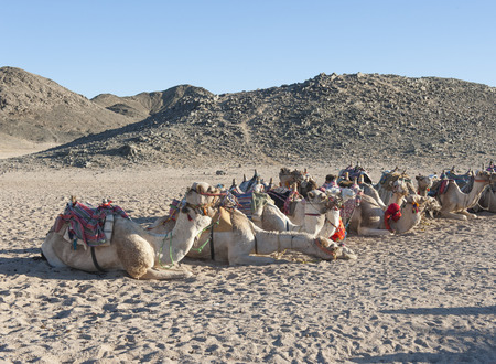 Herd of dromedary camels at egyptian bedouin village in remote mountain rocky desert photo