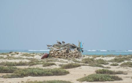 birds desert: Three osprey wild birds on a stone hut at tropical desert island Stock Photo
