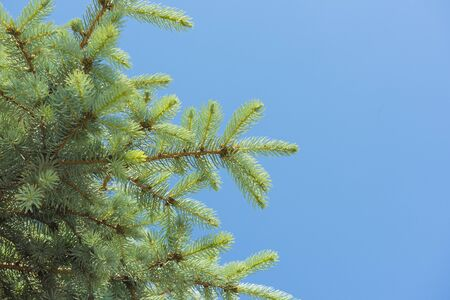 pine tree branch: Closeup detail of a conifer pine tree branch with needles against a blue sky background
