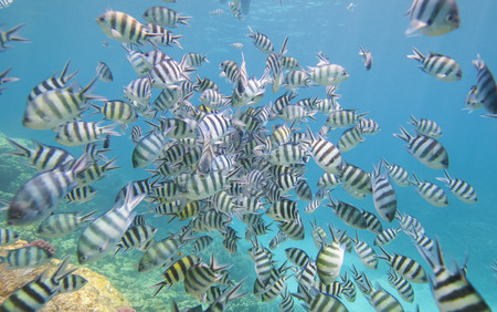 damselfish: Shoal of sergeant major damselfish Abudefduf saxatilis on a tropical coral reef