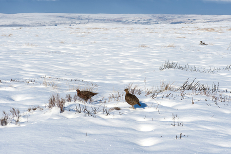 rural countryside: Pair of pheasants in an English rural countryside landscape scene during winter covered with snow