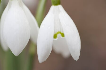 galanthus: Closeup detail of a white snowdrop flower Galanthus nivalis Stock Photo