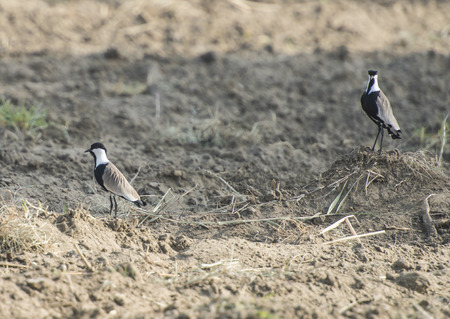 Pair of spur-winged plover lapwing vanellus spinosus stood in a plowed field