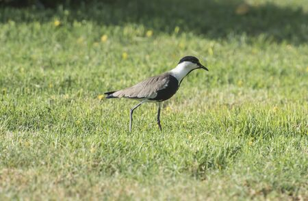 vanellus spinosus: Spur-winged plover lapwing vanellus spinosus stood in grass