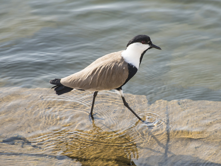 Spur-winged plover lapwing vanellus spinosus wading in water on a river bank Stock Photo