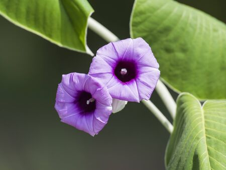 petunia wild: Closeup detail of purple wild petunia flower