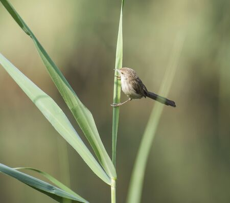 warbler: Graceful warbler Prinia gracilis perched on blade of grass