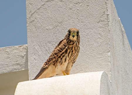 falco: Common kestrel falco tinnunculus wild bird perched on ledge of an urban building