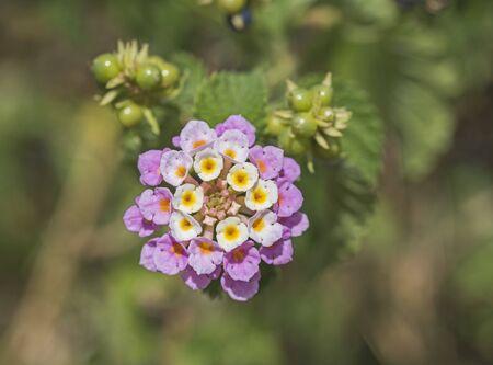 lantana camara: Closeup detail of white and pink lantana camara flower floret in garden with berries Stock Photo
