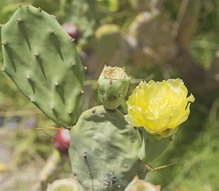 opuntia: Closeup detail of a yellow prickly pear opuntia cactus flower