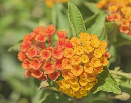 floret: Closeup detail of orange and yellow lantana camara flower floret in garden Stock Photo