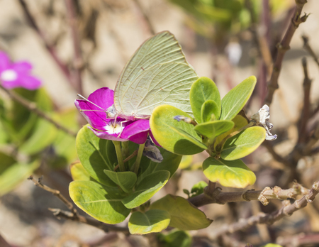 brassicae: Closeup detail of large cabbage white butterfly feeding on purple primrose flower