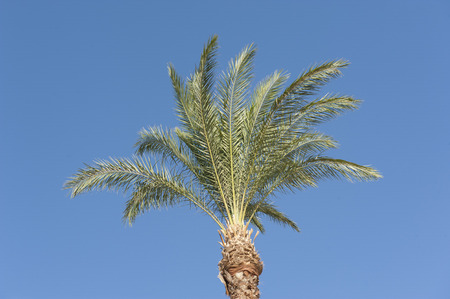 phoenix dactylifera: Top canopy of a date palm tree phoenix dactylifera against a blue sky background