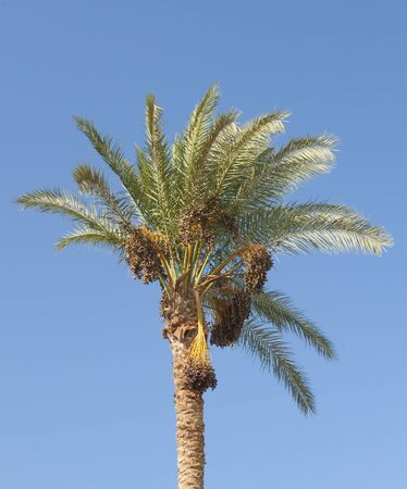 Canopies: Top canopy of a date palm tree phoenix dactylifera with bunches of fruit against a blue sky background