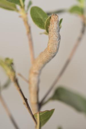 inchworm: Closeup macro of a hawk moth caterpillar on a leafy plant