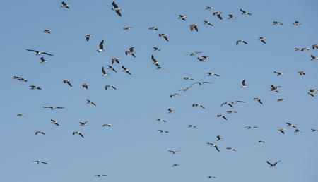 glide: Large flock of white-eyed gull seabirds endemic to the Red Sea hovering in the sky on windy day