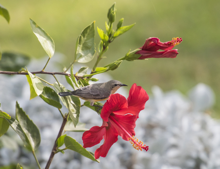 Small wild bird perched on branch of a hibiscus rosa-sinensis plant with large red flower