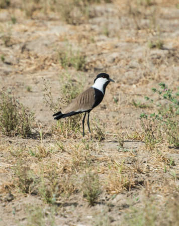 Spur-winged plover lapwing vanellus spinosus stood in grass