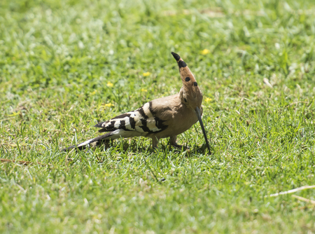 burrowing: Wild hoopoe bird upupa epops feeding in grass of a garden Stock Photo