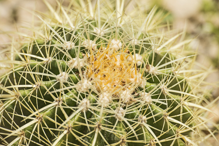 spiny: Close-up detail of a barrel cactus plant echinocactus in an ornamental arid desert garden