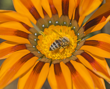 Close-up detail of a honey bee apis collecting pollen on yellow daisy flower in garden Stock Photo