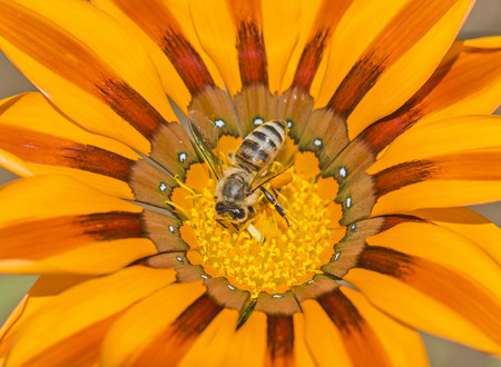 apis: Close-up detail of a honey bee apis collecting pollen on yellow daisy flower in garden Stock Photo