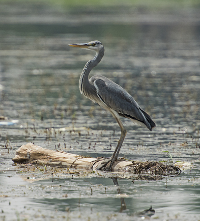 Grey heron ardea cinera stood on floating wooden log in rural river scene Stock Photo