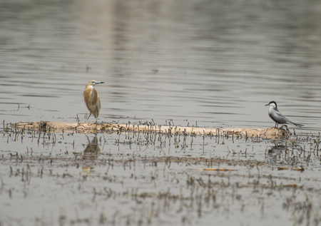 Squacco heron ardeola ralloides and spur-winged plover vanellus spinosus perched on a wooden log floating in river