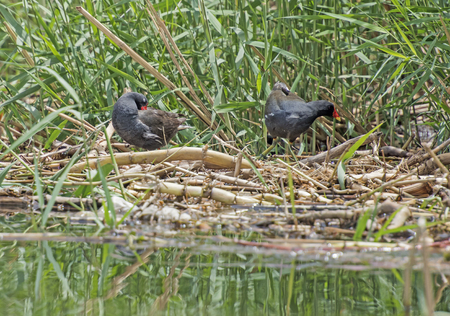 common reed: Pair of common moorhens gallinula chloropus stood on reeds and plants in rural river scene