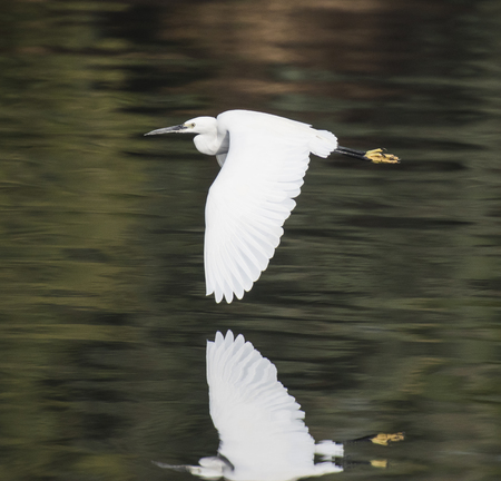 Little egret egretta garzetta wild bird in flight over water with river rural background landscape