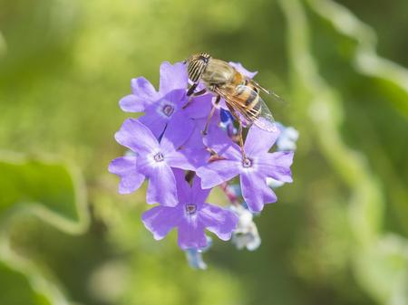 Close-up detail of a flower fly eristalinus taeniops feeding on purple Elizabeth Earle flowers Primula allionii in garden