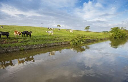 Landscape view of English rural countryside scenery with herd of friesian domestic cattle livestock on bank of waterway canal with reflection