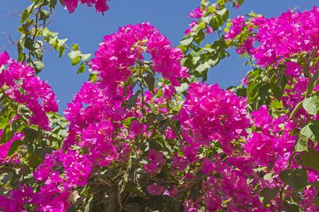 Closeup detail of flowering bougainvillea plant with pink flowers in rural garden setting