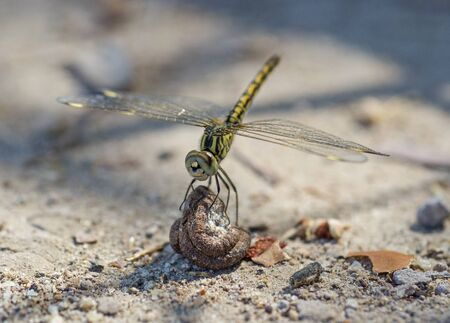 Closeup macro detail of wandering glider dragonfly Pantala flavescens perched on a stone Banque d'images