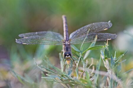 Closeup macro detail of wandering glider dragonfly Pantala flavescens eating insect on blade of grass in field meadow
