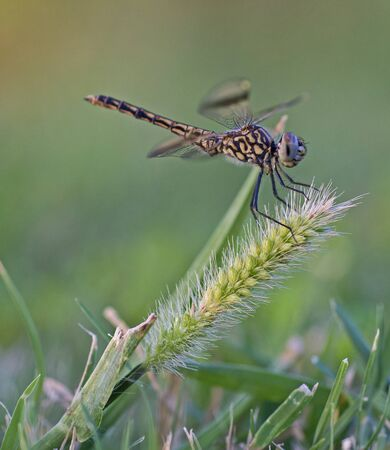 Closeup macro detail of wandering glider dragonfly Pantala flavescens on grass in field meadow Фото со стока