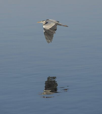 Grey heron ardea cinerea wild bird in flight flying over river water with reflection