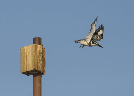 Pied kingfisher ceryle rudis wild bird taking off of perch on post