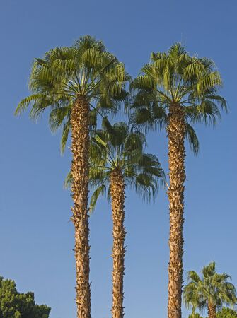 Abstract view of tall large date palm tree phoenix dactylifera looking upwards towards a blue sky background