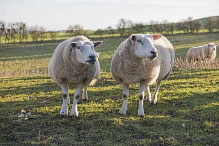 Pair of Lleyn sheep ewe domestic livestock in rural countryside field landscape