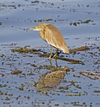 Squacco heron ardeola ralloides wild bird stood in reed of river bank marshland with reflection