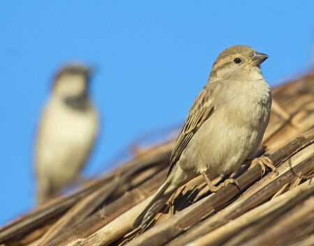 House sparrow Passer domesticus wild bird perched on wooden wicker roofing outdoors