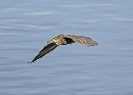 Juvenile night heron nycticorax wild bird in flight flying over river water in rural setting 写真素材