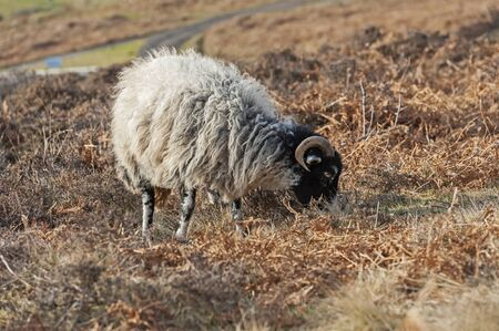 English Jacobs sheep with horns grazing on rural countryside moorland Stock Photo